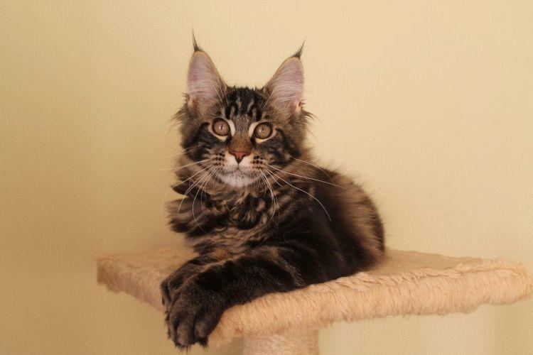 Британская короткошерстная кошка О породе  Породы кошек